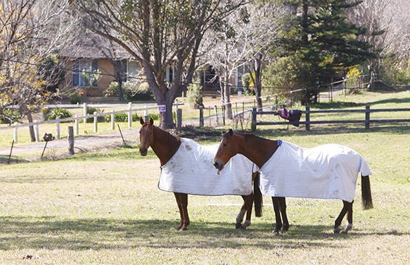 A photograph of two horses in a paddock at Dural.